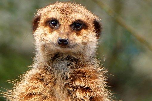 Meerkat, Zoo, Animals, Mammal, Cute, Animal World