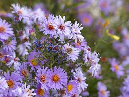 Autumn Flowers, Purple Flowers, Flowers, Purple, Plant