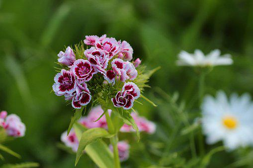 Bart Cloves, Cloves, Dianthus Barbatus
