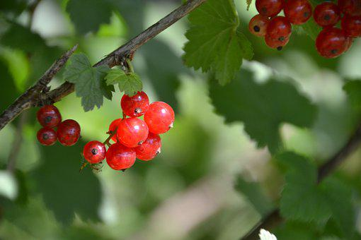 Currants, Red, Berries, Soft Fruit, Garden, Healthy