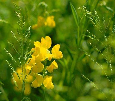 Lathyrus Meadows, Lathyrus Pratensis, Biodiversity