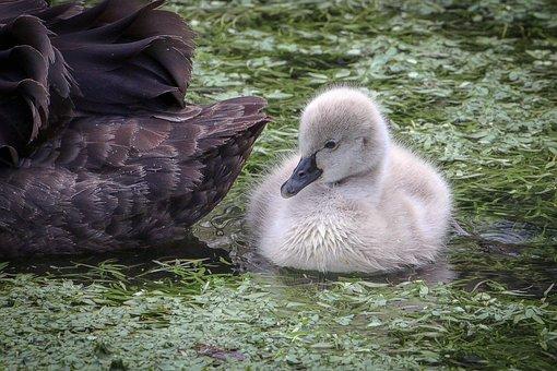 Black Swan, Mourning Swan, Water Bird, Elegant, Chicks