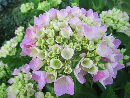 Hydrangea, Hydrangea Flower, Garden, Garden Plant, Bush
