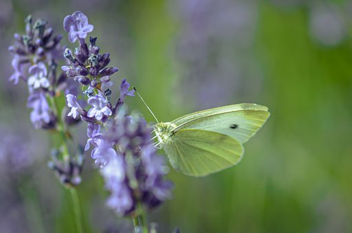 Gonepteryx Rhamni, Butterfly, Insect, Nature