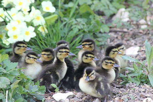 Ducklings, Birds, New, Fluffy, Small, Young, Chicks