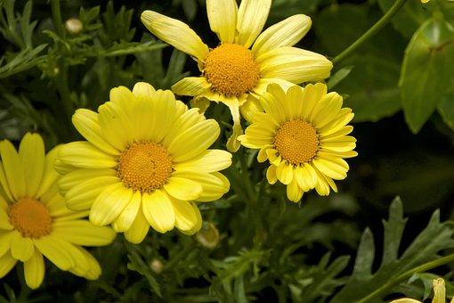 Daisies, Garden, Yellow, Close Up, Flower, Summer