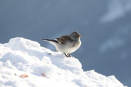 Sneeuwvink, Bird, Songbird, Snow, Cold, Nature, Winter