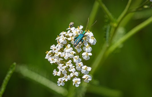 Yarrow, Beetle, Colorful, Bright, Insect, Nature, Probe