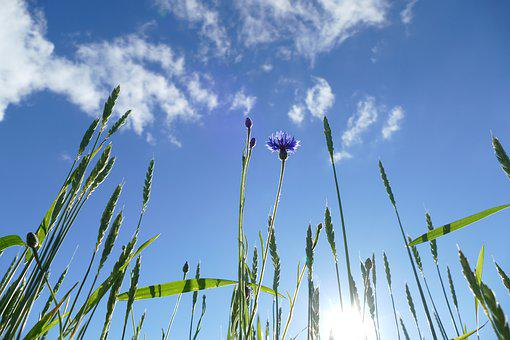 Cornflowers, Centaurea Cyanus, Grain, Cereals, Nature