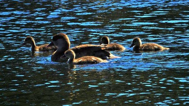 Ducks, Duck Family, Waterfowl, Animal, Plumage