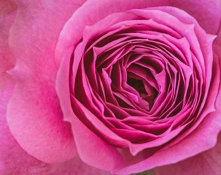Rose, Blossom, Bloom, Petals, Pink, Flower, Flora