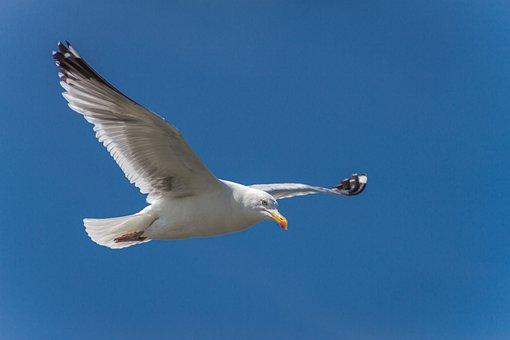 Seagull, Herring Gull, Flying, Flight, Glide, Wind, Air