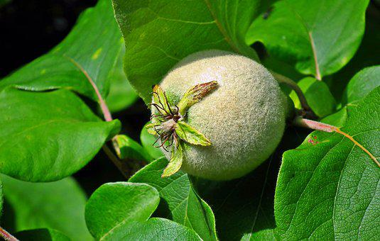 Quince, Fruit, Tree, Foliage, Garden, Hairy, Nature