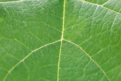 Common Grape Vine, Vitis Vinifera, Leaf, Green, Plant