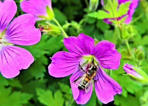 Flowers, Cranesbill, Plant, Shrub, Honey Bee, Insect