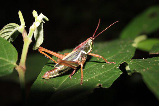 Grasshopper, Insect, Nature, Animal, Biology