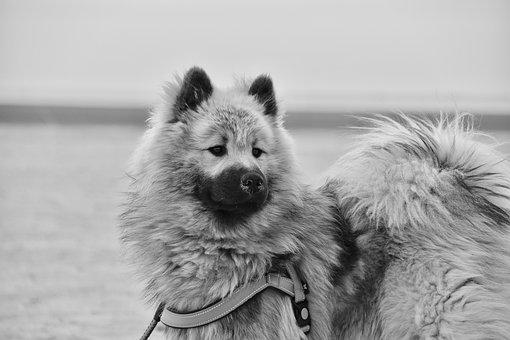 Dog, Eurasier, Black And White Photo, Male