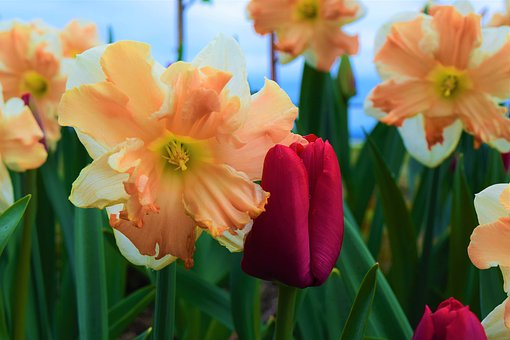 May Flowers, Daffodils, Tulip, Red, Peach, Orange