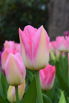 Pink, White, Tulips, May Flowers, Spring, Beauty