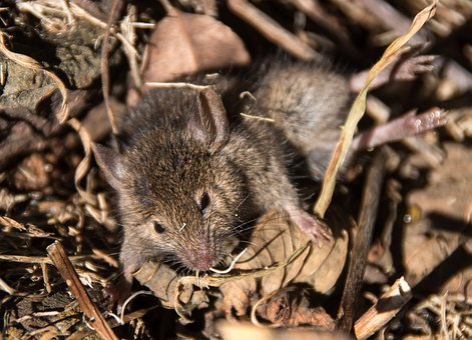Mouse, Antechinus, Marsupial Mouse, Marsupial, Native