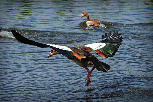 Nile Goose, Duck, Water Bird, Animal, Flight, Wing, Leg