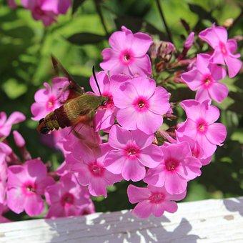 Hummingbird Moth, Pink Flowers, Flowers, Garden