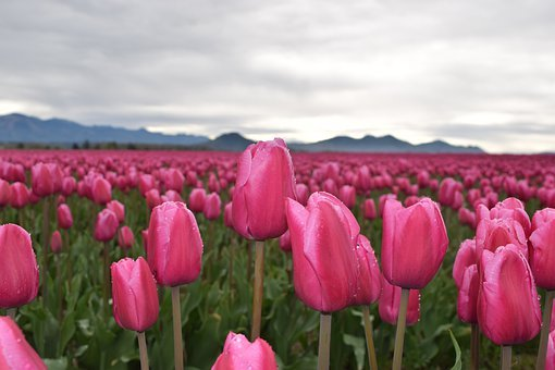 Tulips, Pink, May Flowers, Mt Vernon, Landscape