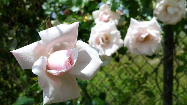 Pink Rose Flower, Flower, Pink, Floral, Garden, Bouquet
