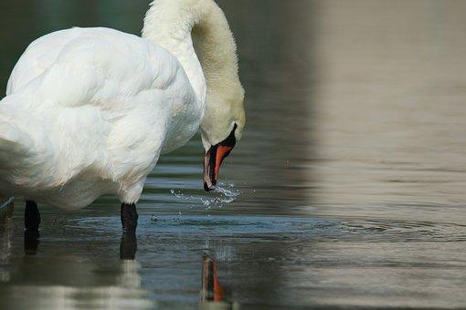 Bird, Swan, Water, Pond, Drinking, Beauty