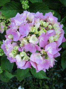 Hydrangea, Purple, Blue, Summer, Garden, Flora, Nature