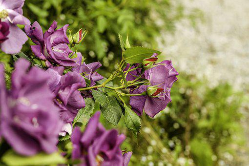Roses, Purple, Nature, Flower, Summer, Garden, Bush