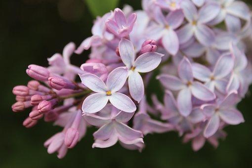 Lilacs, Flowers, Purple Flowers, Spring, Purple