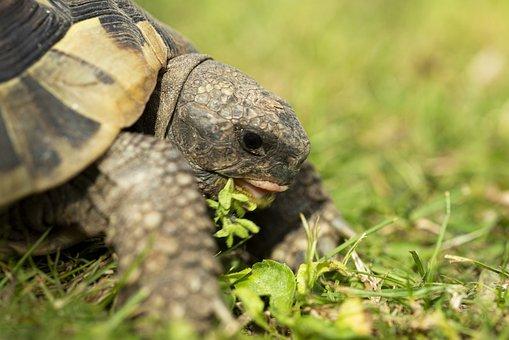 Turtle, Eat, Food, Greek, Tongue, Macro, Reptile