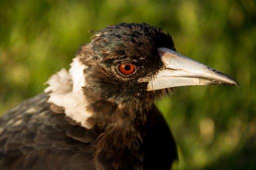 Magpie, Australian Magpie, Beak, Bird, Black, White