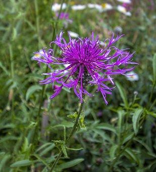 Greater-knapweed, Wildflower, Purple, Bloom, Plant