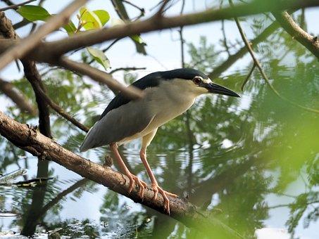 Night Heron, Wild, Wildlife, Bird, Heron, Night, Adult