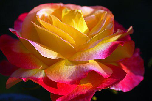 Rose, Yellow Rose, Beauty, Flower, Yellow, Blossom