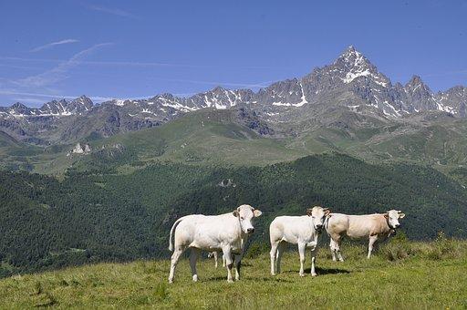 Alps, Mountain, Monviso, Cows, Mountains, Nature