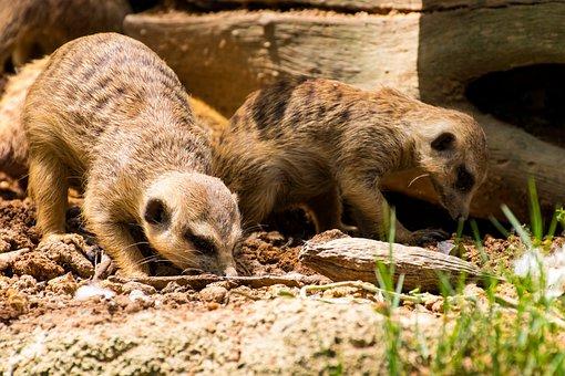 Animal, Meerkat, Nature, Cute, Zoo, Fur, Africa, Sweet