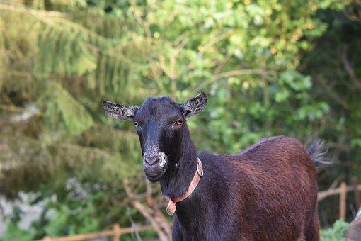 Goat, Bushman, Herbivore, Animal, Ruminant, Goat Nemo