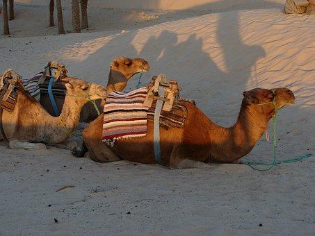 Camel, Sand, Desert, Landscape, Travel, Sahara, Animal