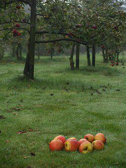 October, Apples, Sad, Garden, Autumn, Oct, Apple, Rosa