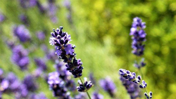 Hot, Lavender, Blue, Sunlight, Garden, Aroma, Purple