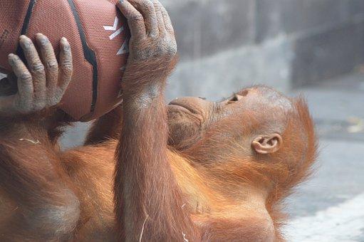 Baby, Monkey, Orangutan, Mammals, Cute, Ball, Fur