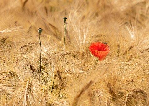 Poppy, Blossom, Bloom, Cornfield, Barley
