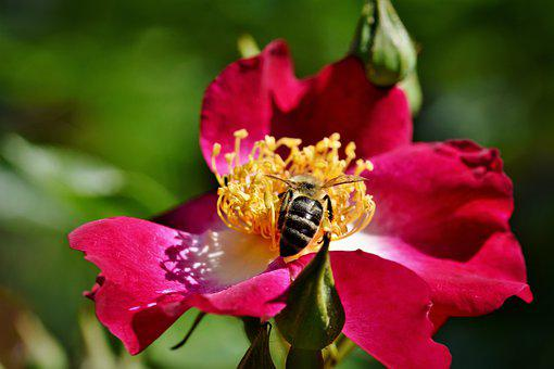 Anemone, Florets, Blossom, Bloom, Rose, Bee, Insect