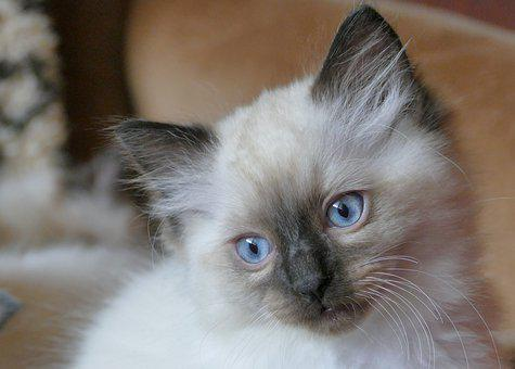 Cat, Ragdoll, Animals, Nice, Blue, Fluffy, Kitten