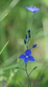 Veronica Chamaedrys, Wildflowers, Flower, Blue