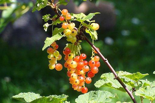 Bush, Currant, Red, Fruit, Immature, Garden, Nature