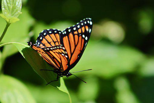 Butterfly, Monarch, Insects, Nature, Butterflies